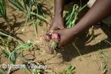 西アフリカの農業(イメージ)