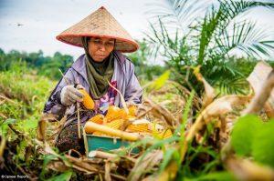 トウモロコシを収穫する女性労働者